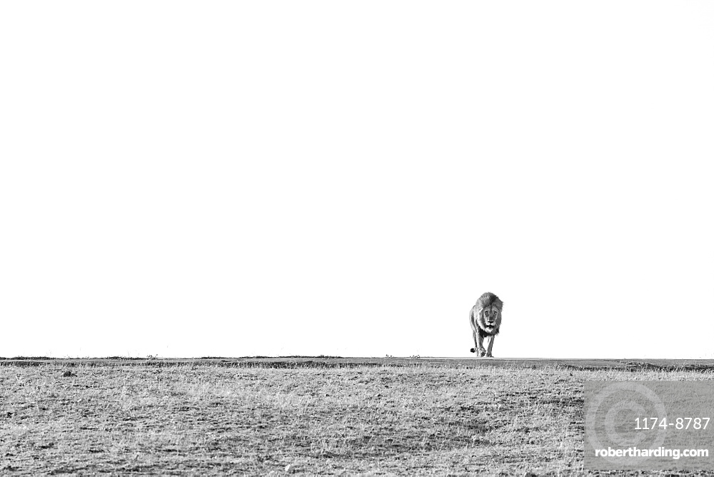 A male lion, Panthera leo, walks through a clearing towards the camera, in black and white, Sabi Sands, Greater Kruger National Park, South Africa