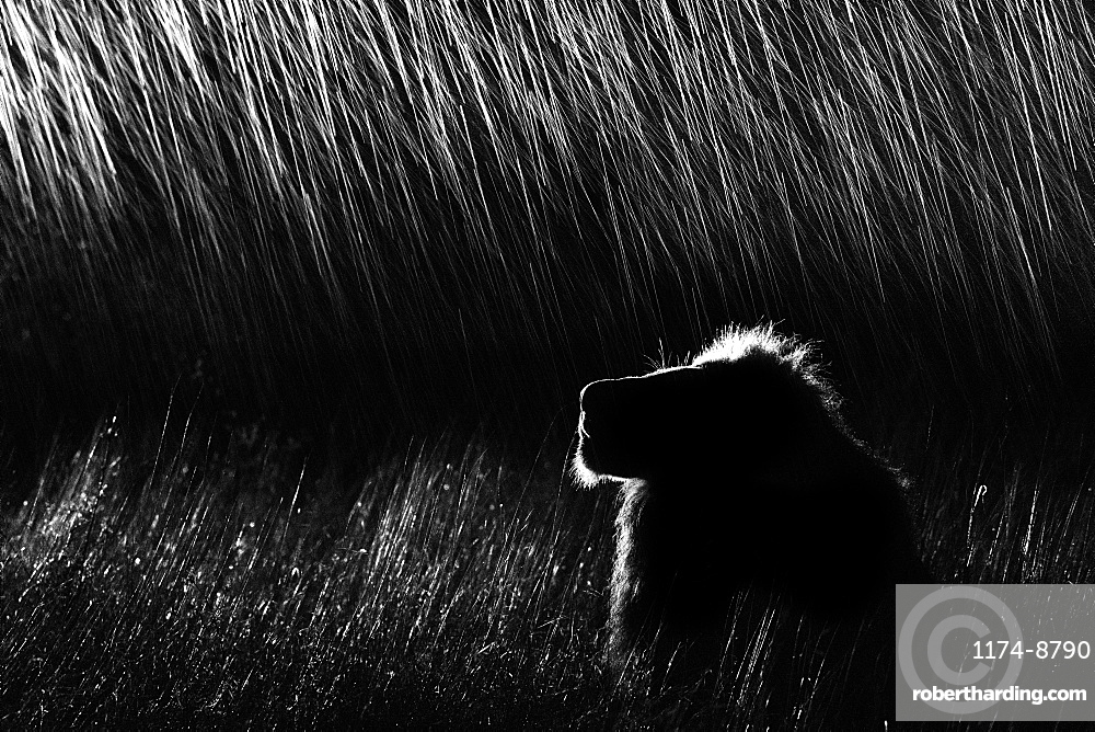 A side profile of a male lion, Panthera leo, lying in tall grass, looking up, at night, lit up by spotlight, in black and white, Sabi Sands, Greater Kruger National Park, South Africa