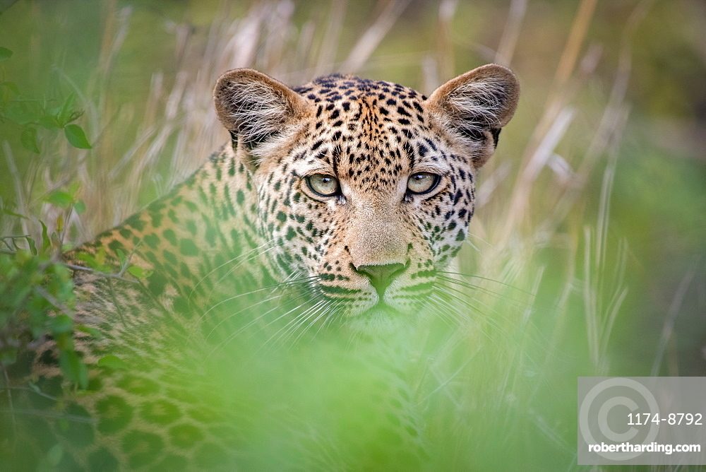 A leopard, Panthera pardus, lies in the grass, direct gaze, ears up, greenery in foreground, Sabi Sands, Greater Kruger National Park, South Africa