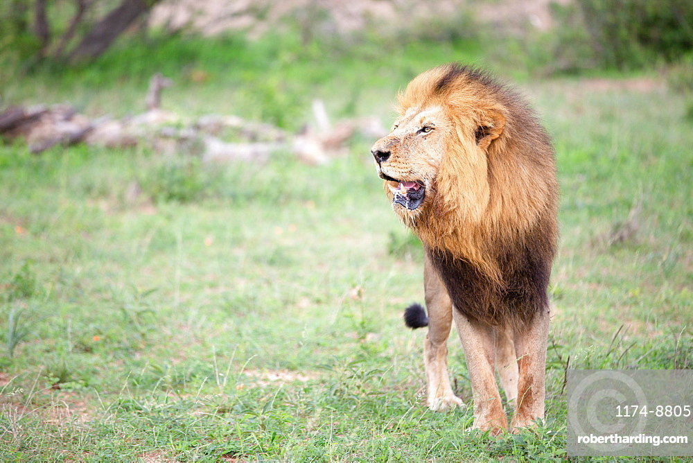 A male lion, Panthera leo in grass, mouth open, Sabi Sands, Greater Kruger National Park, South Africa