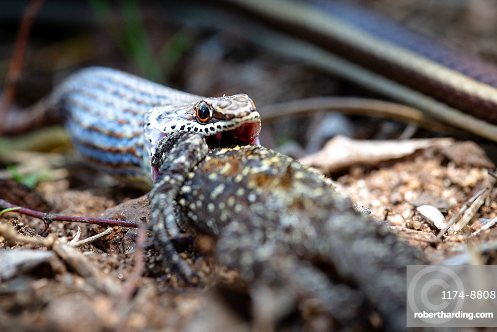 A western strip-bellied sand snake, Psammophis subtaeniatus, swallowing a tree agama lizard, Acanthocercus atricollis, Sabi Sands, Greater Kruger National Park, South Africa