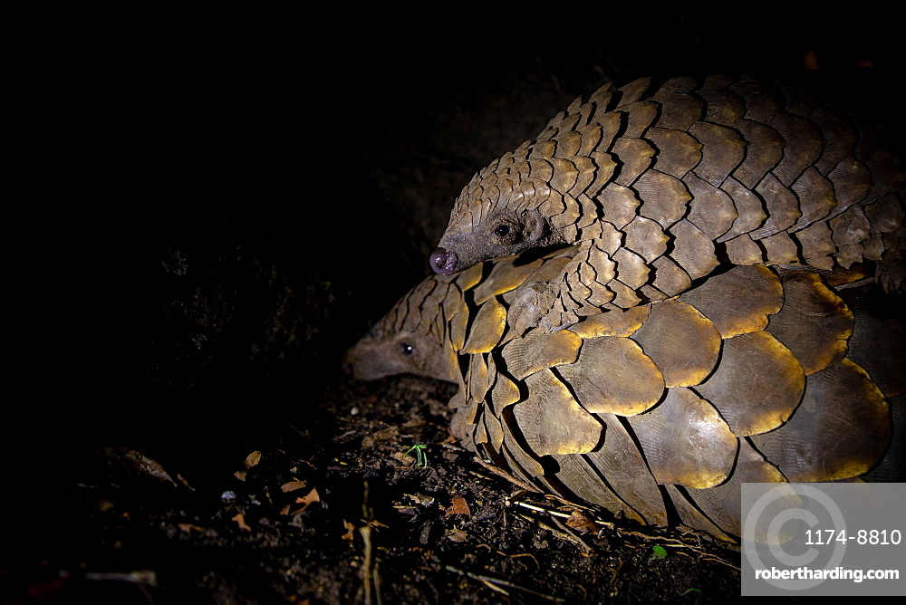 A pangolin, Smutsia temminckii, lies on the ground while her pup lies on her back, blacked out background, Sabi Sands, Greater Kruger National Park, South Africa