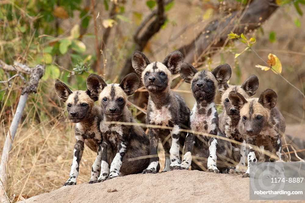 A pack of Wild Dog puppies Lycaonᅠpictus on a termite mound ears forward looking at camera, Sabi Sands, South Africa
