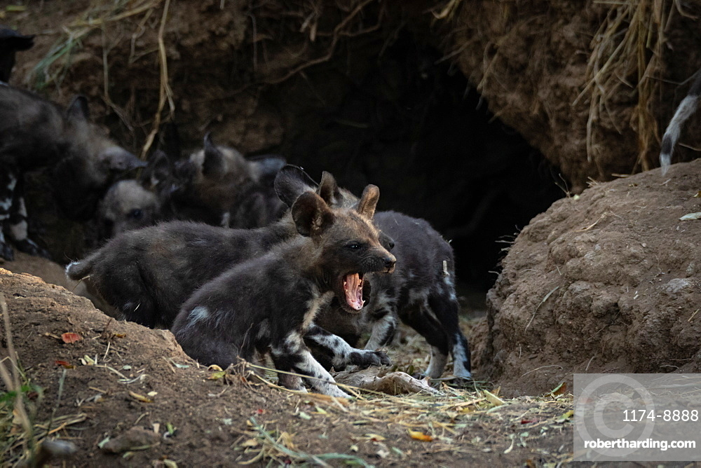 A pack of Wild Dog puppies Lycaonᅠpictus outside their den, Sabi Sands, South Africa