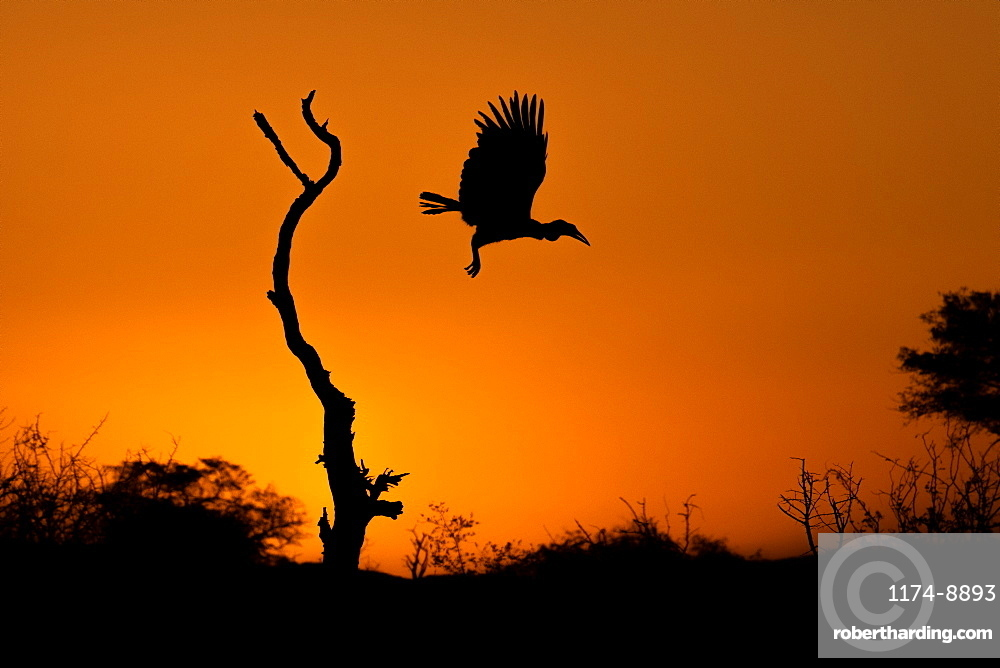 Silhouette of a Ground Hornbill Bucorvusᅠleadbeateri at flight from a dead tree at sunset, Sabi Sands, South Africa