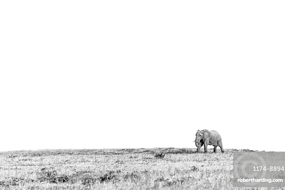 African elephant Loxodonta africana walking across an open plain, Sabi Sands, South Africa