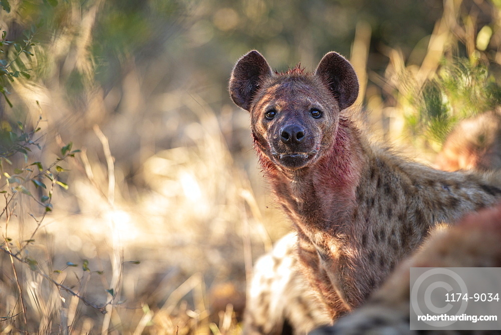 A spotted hyena, Crocuta crocuta, with blood covering its face, direct gaze, Sabi Sands, Greater Kruger National Park, South Africa