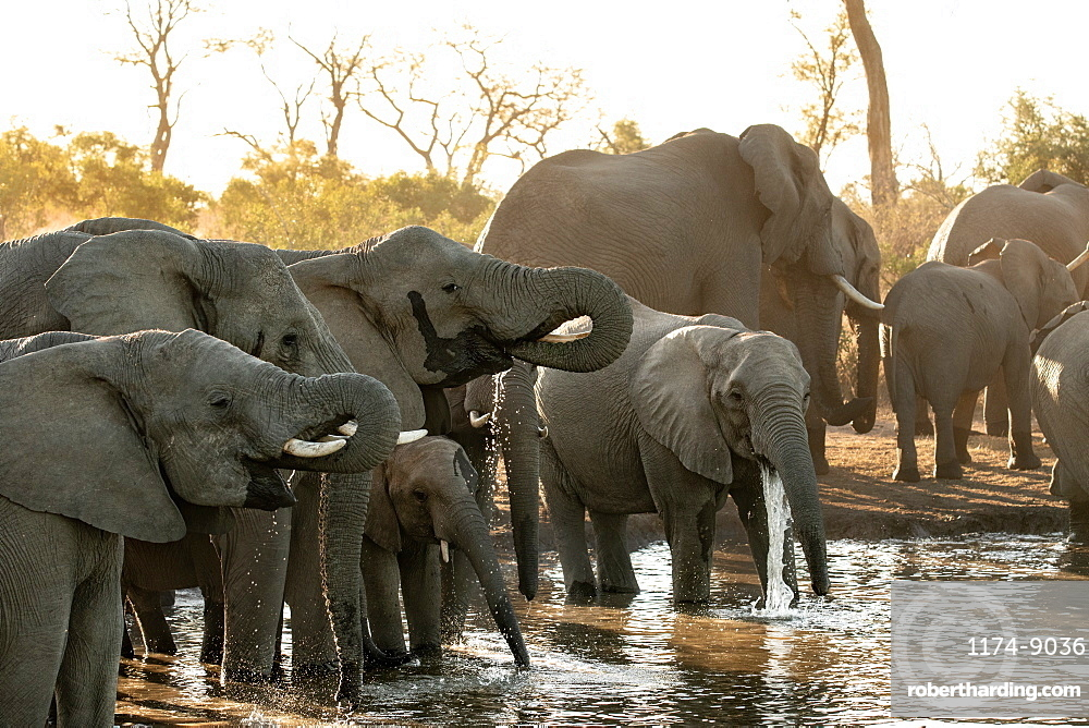 A herd of African elephants, Loxodonta africana, drink at a water hole during sunset in soft light, Sabi Sands, Greater Kruger National Park, South Africa