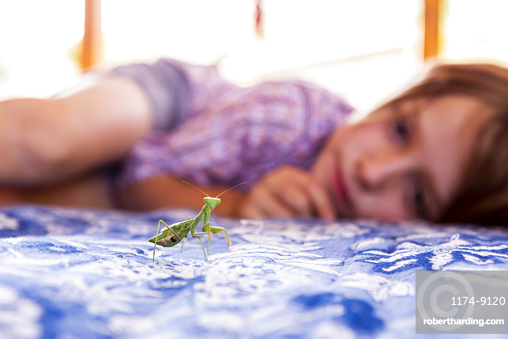 7 year old boy looking at a praying mantis, New Mexico, United States