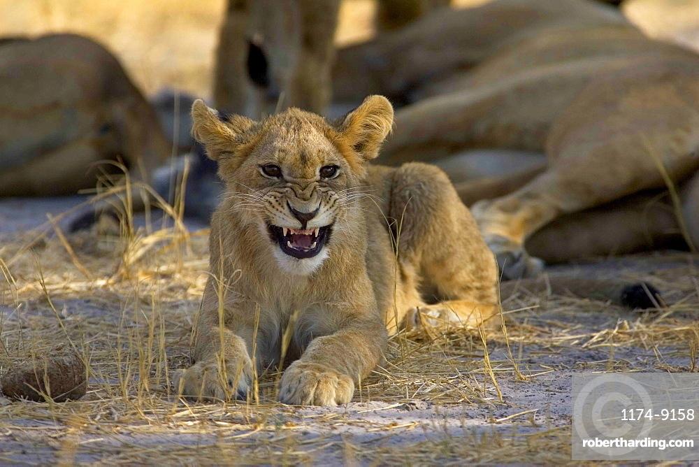 African lion, Panthera leo, cub lying on ground, snarling at camera, Moremi Reserve, Botswana