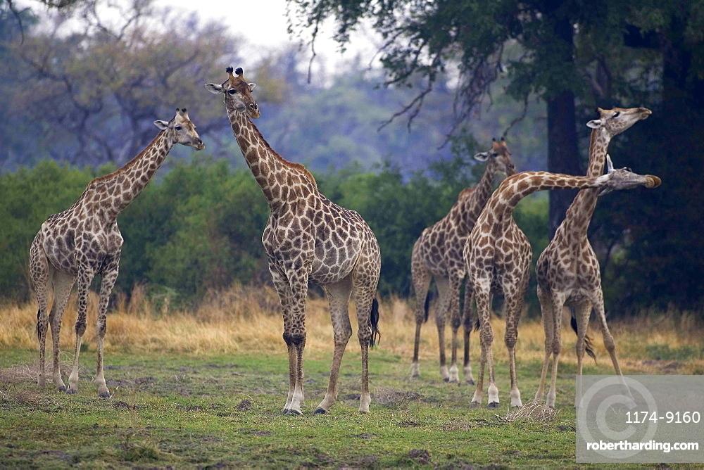 Small group of South African Giraffes, Camalopardalis Giraffa, Moremi Reserve, Botswana, Africa