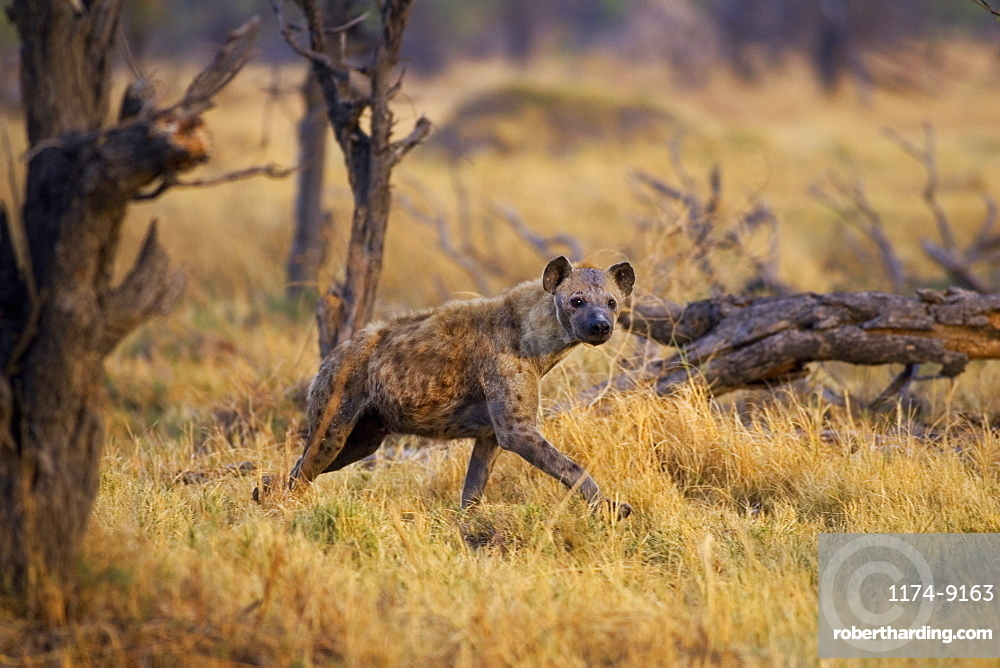 Hyena walking through grass in the Moremi Reserve, Botswana, Africa