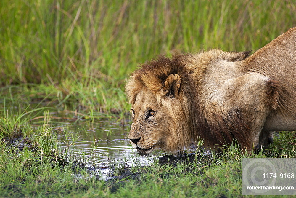 African lion, Panthera leo, male at waterhole in the Moremi Reserve, Botswana, Africa