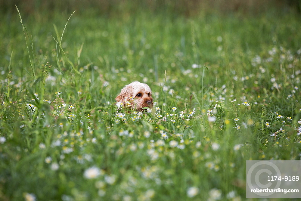 Portrait of a red coated young Cavapoo sitting in a meadow, Watlington, Oxfordshire, United Kingdom