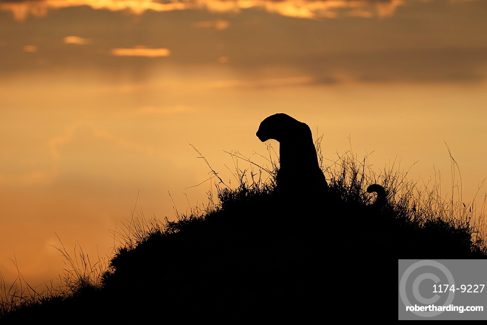 A silhouette of a leopard, Panthera pardus, sitting on a termite mound against a sunset, Londolozi Wildlife Reserve, Greater Kruger National Park, South Africa