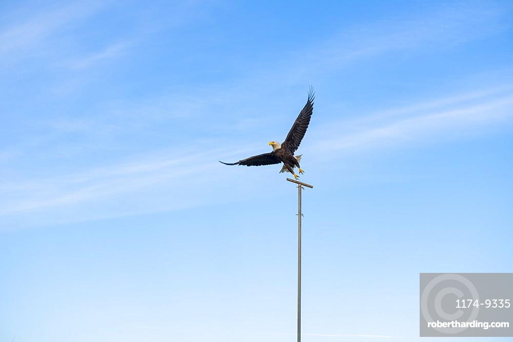 Bald eagle (Haliaeetus leucocephalus) perched on a post against blue sky, Pacific County, Washington, United States of America