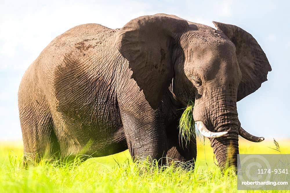African elephant feeding in the Chobe National Park, Botswana