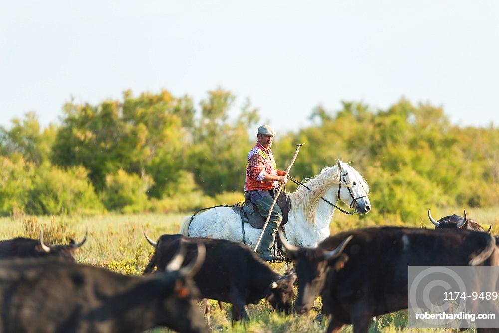 Gardian, cowboy of The Camargue with bulls, Camargue, France