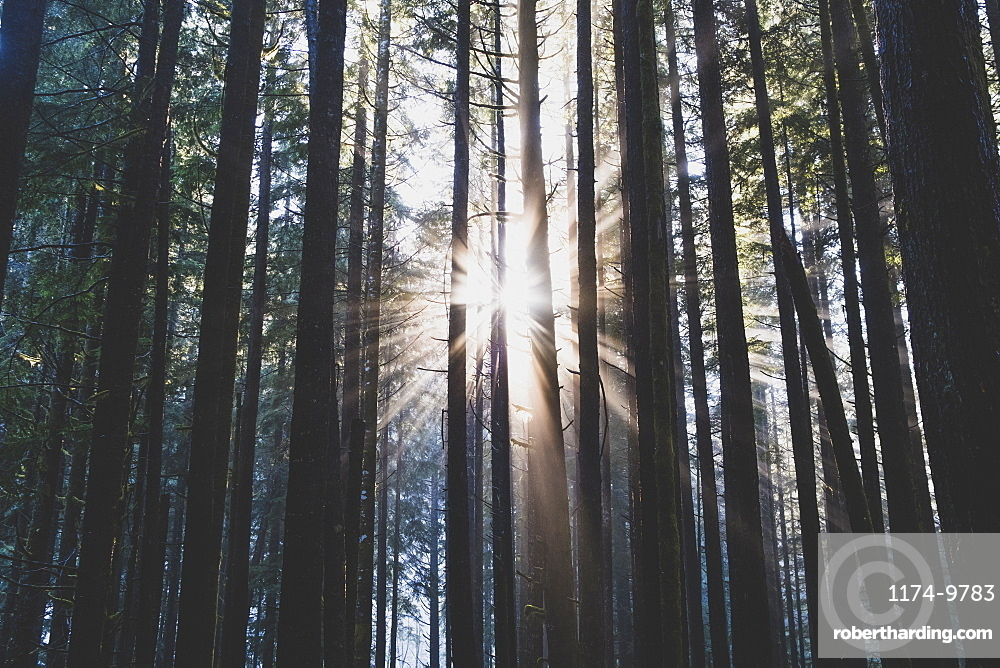 Sunlight shining through lush, temperate rainforest