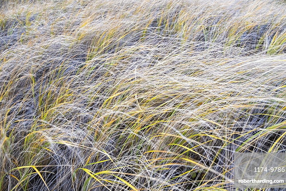Field of windswept sea grasses at dusk