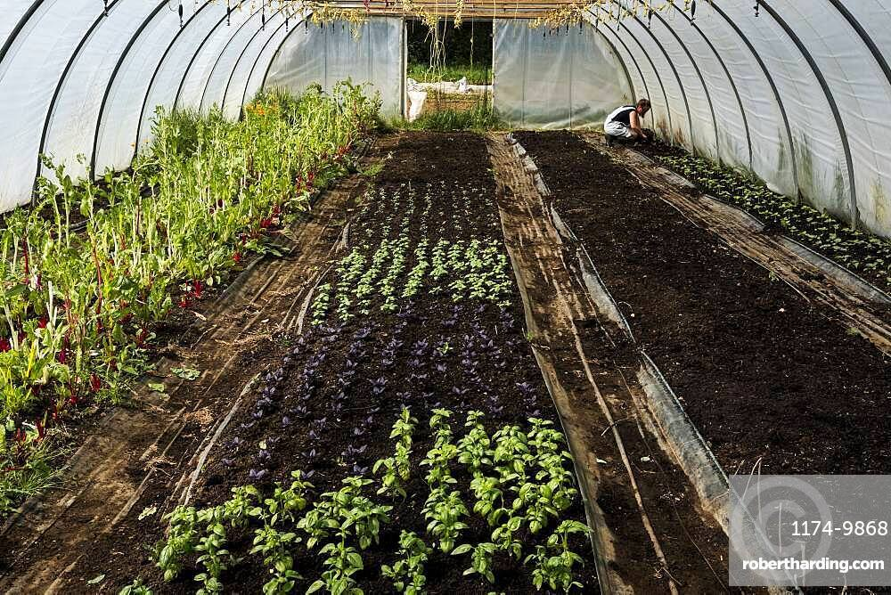 High angle view of rows of green and purple basil in a poly tunnel, Oxfordshire, United Kingdom