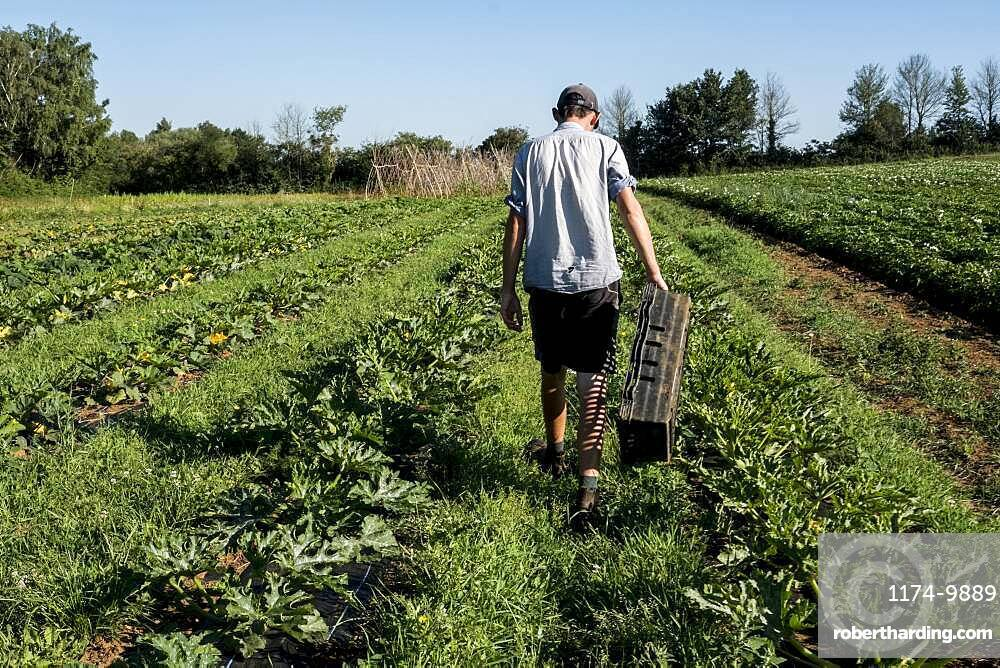 Rear view of man walking along rows of vegetables on a farm, Oxfordshire, United Kingdom
