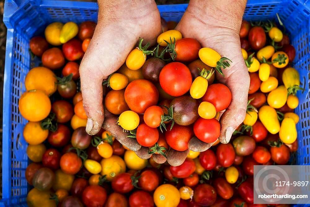 High angle close up of person holding bunch of freshly picked cherry tomatoes, Oxfordshire, United Kingdom