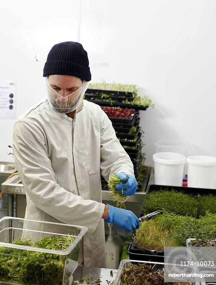 Man harvesting microgreens in urban farm