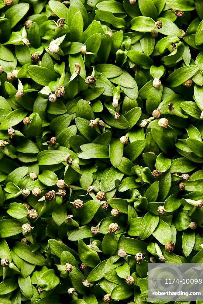 Close up of tightly packed microgreen coriander seedlings shot from above