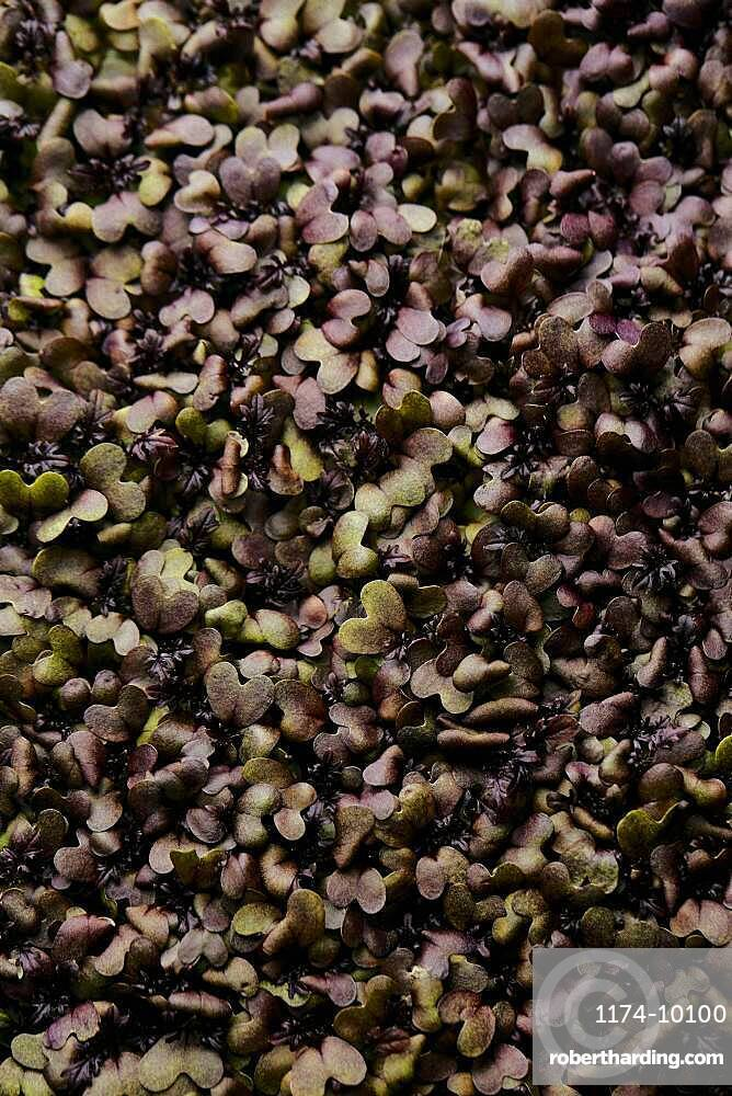 Close up of tightly packed mustard microgreen seedlings shot from above