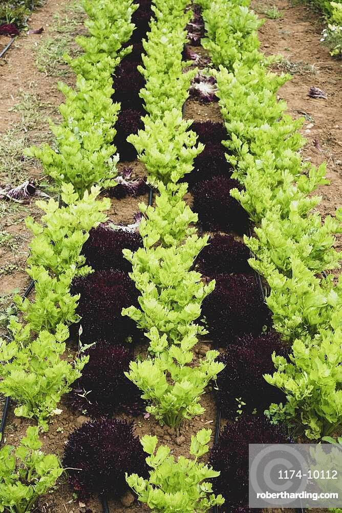 High angle close up of rows of celery in a field.