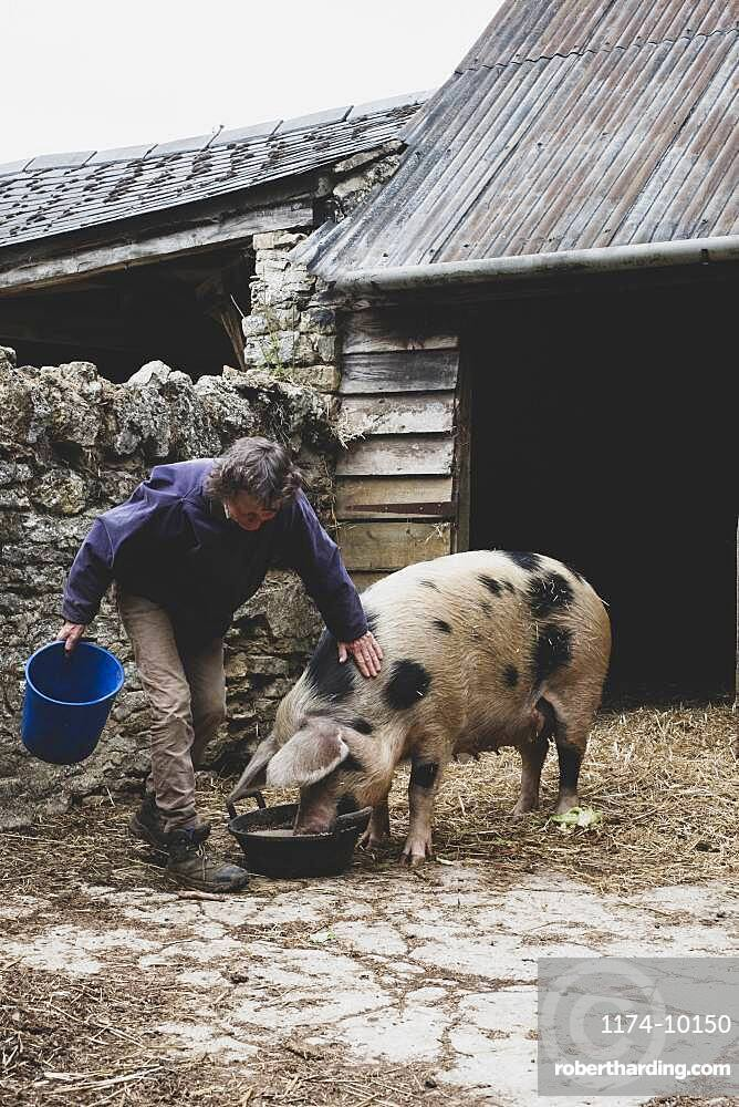 Woman stroking Gloucester Old Spot sow outside a sty, feeding from bowl.