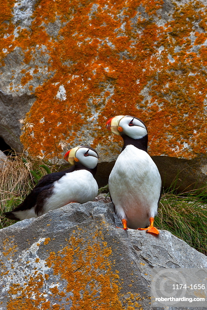 Puffins on a lichen-covered cliff. Horned puffins, Fratercula corniculata, Lake Clark National Park, Alaska, USA, Lake Clark National Park, Alaska, USA