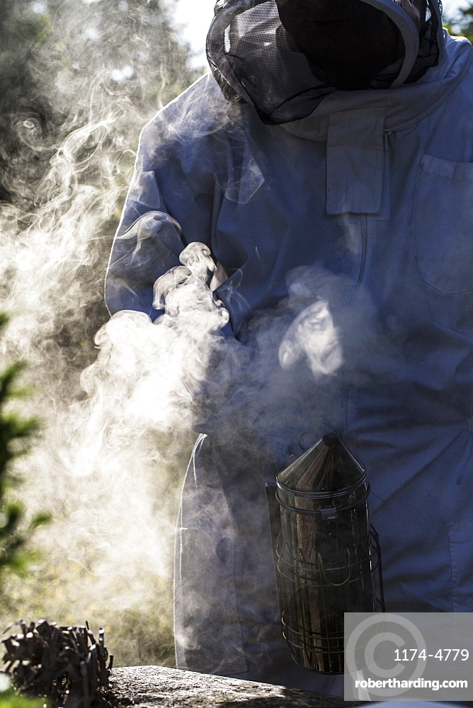 Beekeeper wearing protective suit at work, using smoker to calm bees, England, United Kingdom