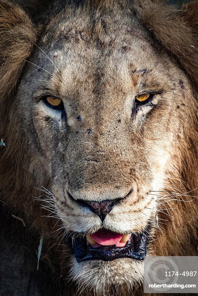 A male lion's head, Panthera leo, scarred nose, looking away, with yellow eyes, showing  its tongue and teeth, Londolozi Game Reserve, Sabi Sands, Greater Kruger National Park, South Africa