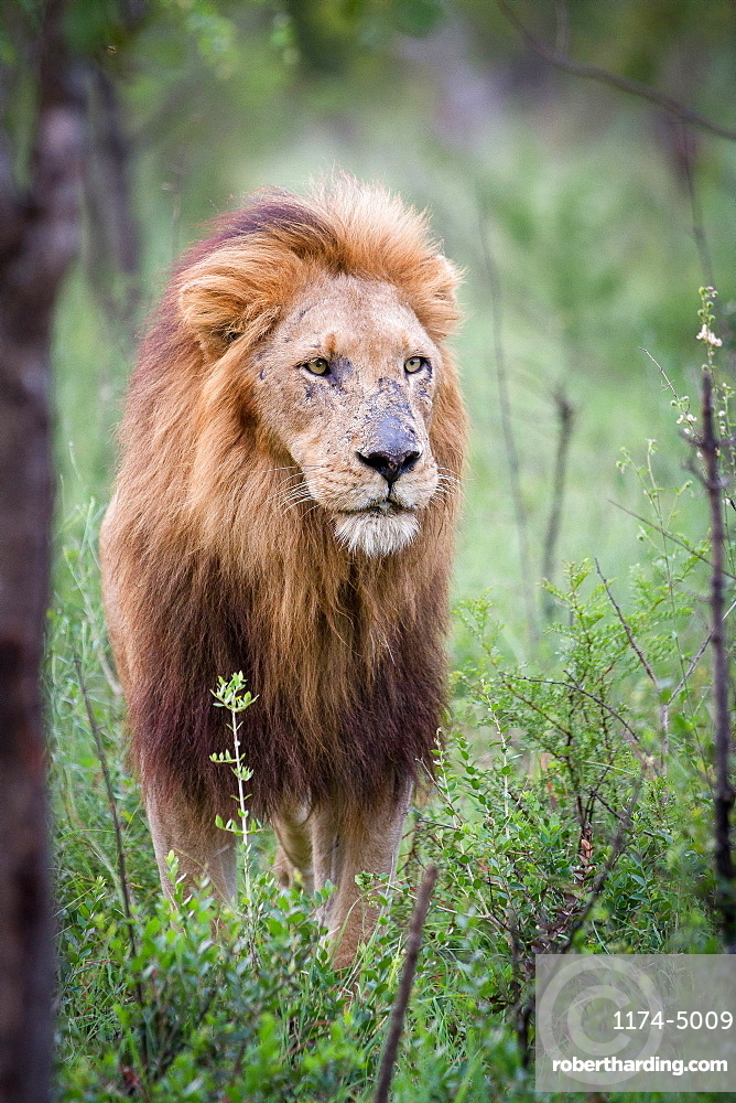 A male lion, Panthera leo, stands in green shrubs, looking away, scarred nose, thick mane, Londolozi Game Reserve, Sabi Sands, Greater Kruger National Park, South Africa