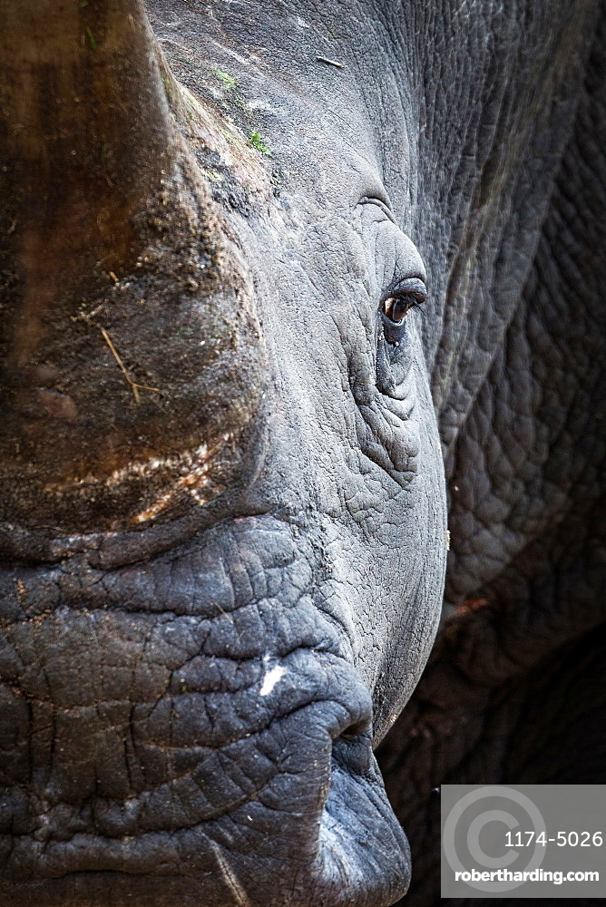 A rhino's head, Ceratotherium simum, direct gaze, Londolozi Game Reserve, Sabi Sands, Greater Kruger National Park, South Africa