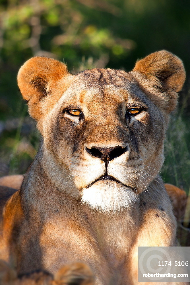 The head of a lioness, Panthera leo, lying down, alert, ears forward, Londolozi Game Reserve, Sabi Sands, Greater Kruger National Park, South Africa