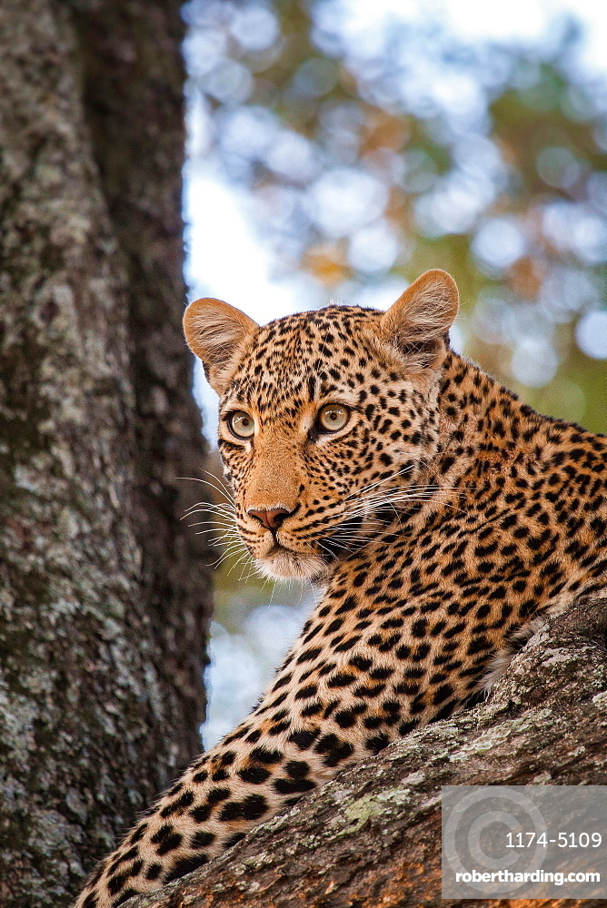 A leopard's head, Panthera pardus, lying in a tree, looking away, Londolozi Game Reserve, Sabi Sands, Greater Kruger National Park, South Africa