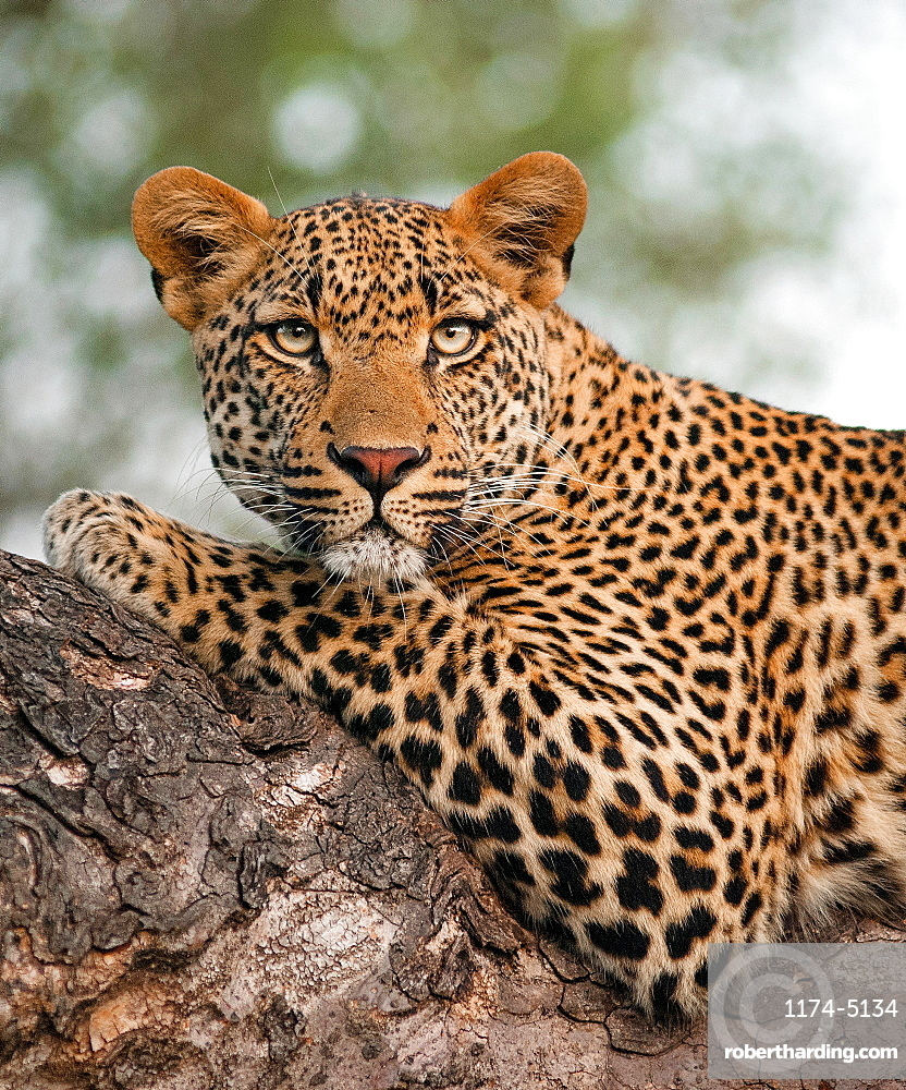 A leopard's upper body, Panthera pardus, lying on tree branch, alert, green yellow eyes, Londolozi Game Reserve, Sabi Sands, Greater Kruger National Park, South Africa