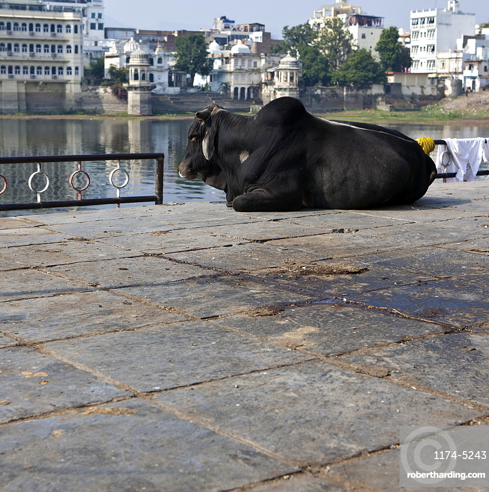Sacred Cow at the Bathing Ghat, Udaipur, Rajasthan, India