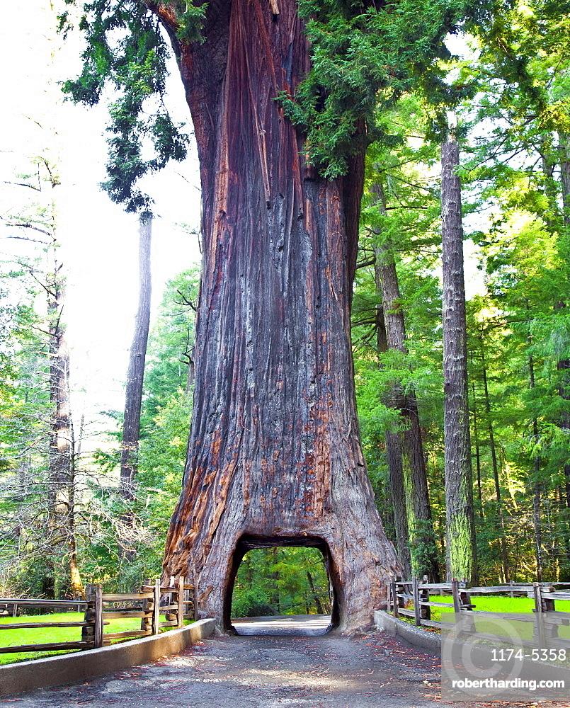 Chandelier Drive Thru Redwood Tree, California, United States of America