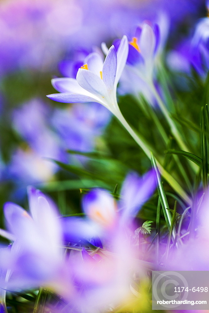 Close up of pale purple crocuses with bright yellow stamens and green grass-like leaves, Oxfordshire, England
