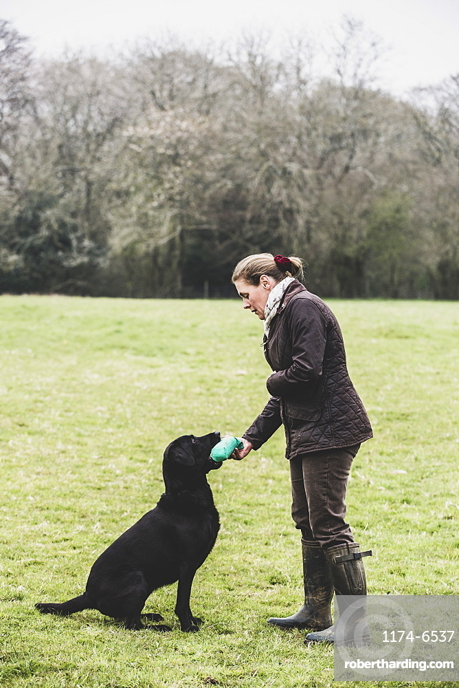 Woman standing outdoors in a field giving a green toy to Black Labrador dog, Oxfordshire, England