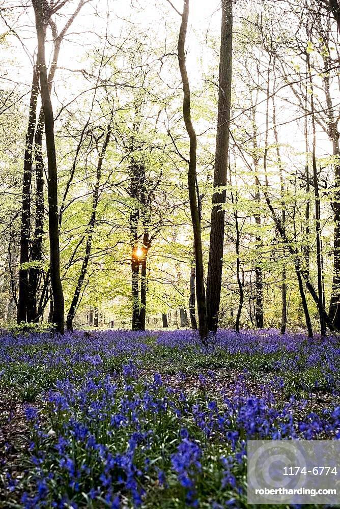 Carpet of bluebells in a forest in spring