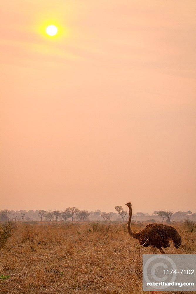 An ostrich, Struthio camelus, stands in brown grass at sunset, Londolozi Game Reserve, Sabi Sands, Greater Kruger National Park, South Africa