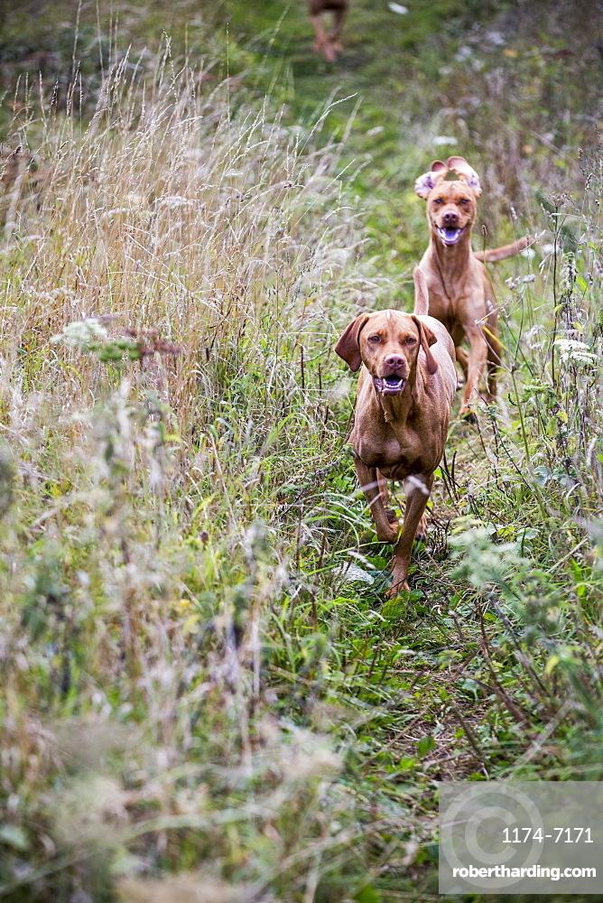 Portrait of two Vizla dogs on a meadow