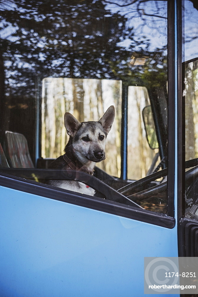 Close up of dog sitting on driver's seat of a blue horse trailer, Devon, United Kingdom