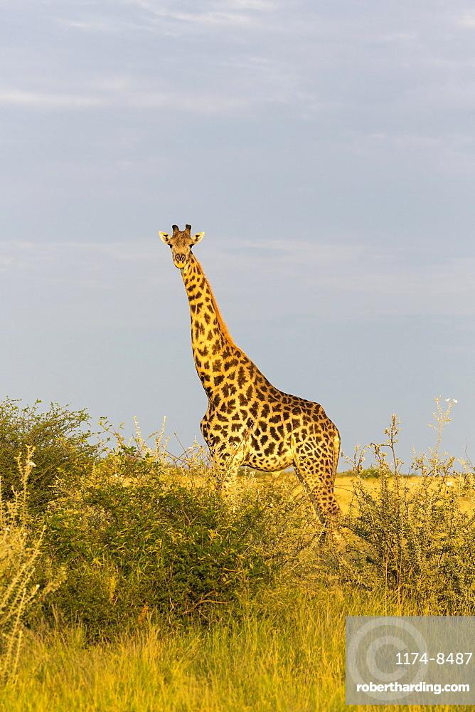A giraffe crossing open ground at a salt pan