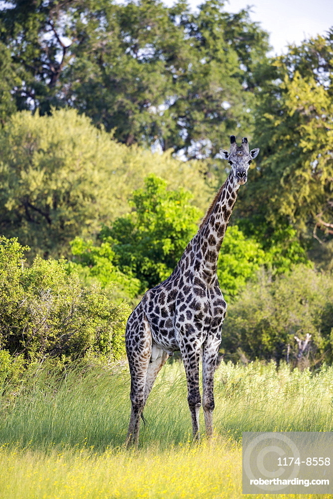 A giraffe among the trees in woodland